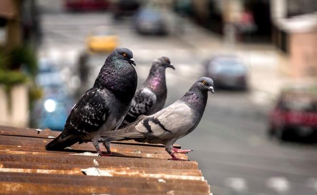 Empêcher les pigeons d'envahir son quotidien